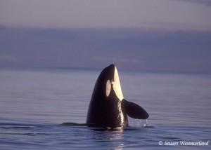 orca stuart westmorland